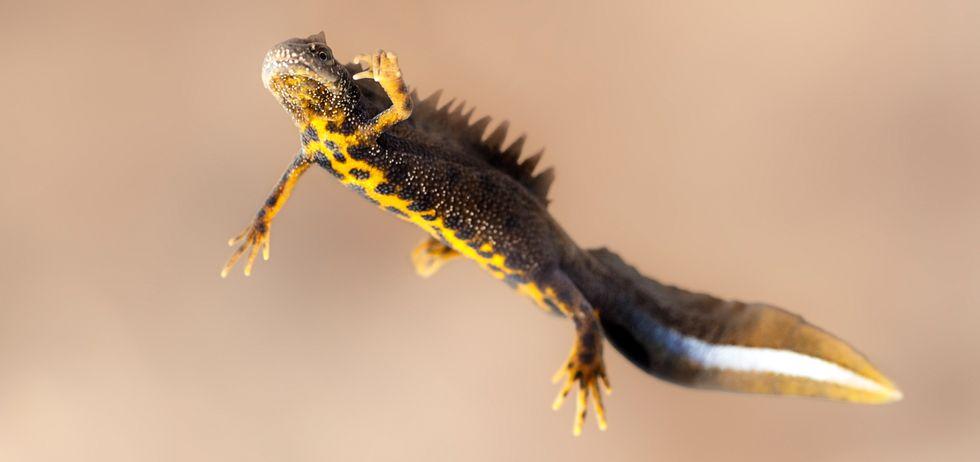 newt surveys