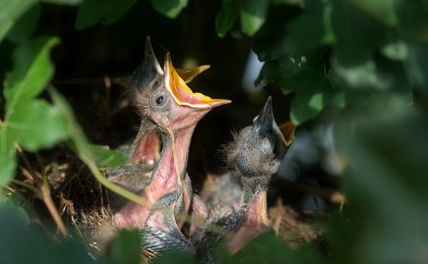 nesting bird surveys